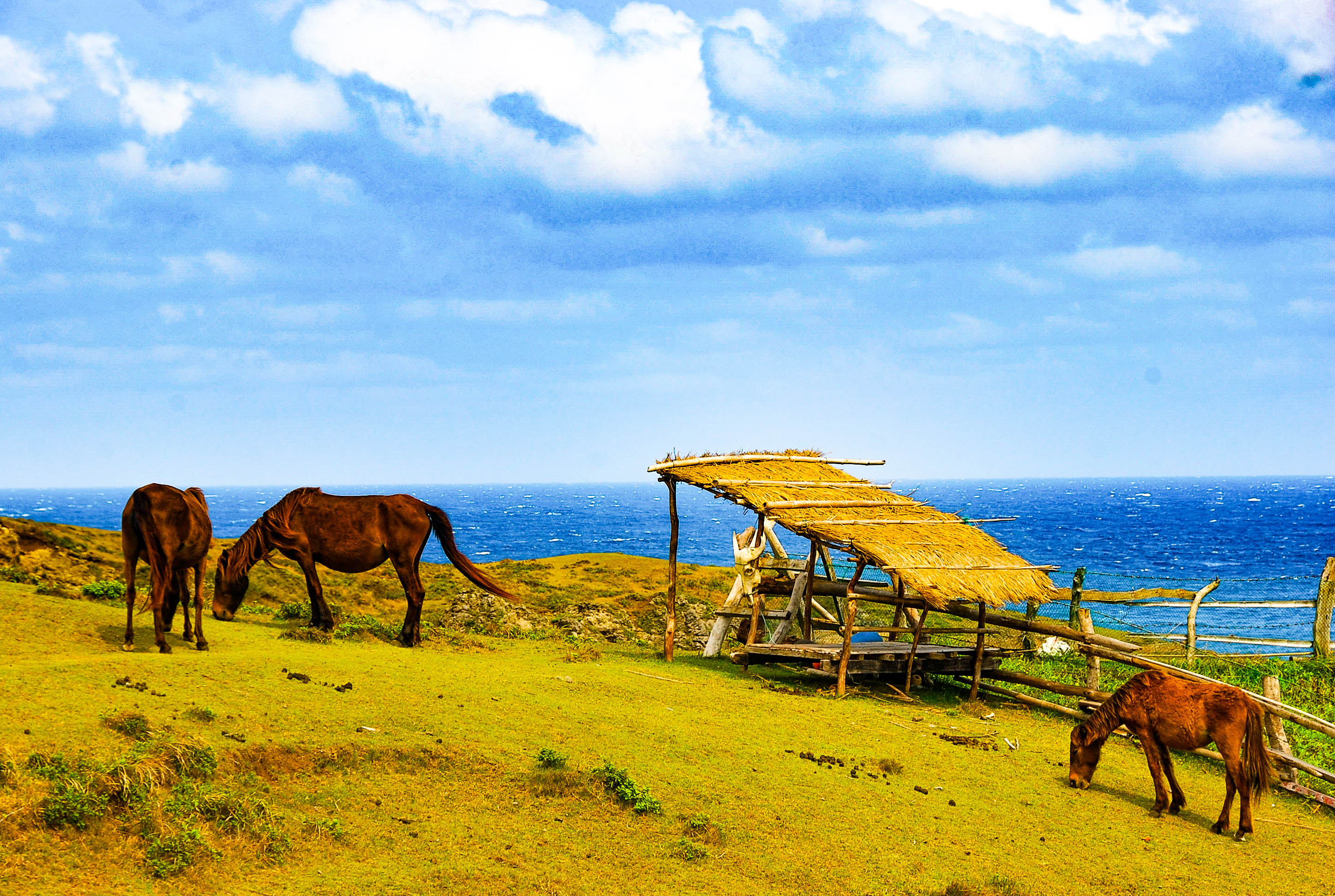 Horses grazing on a hill overlooking the sea in Batanes, Philippines