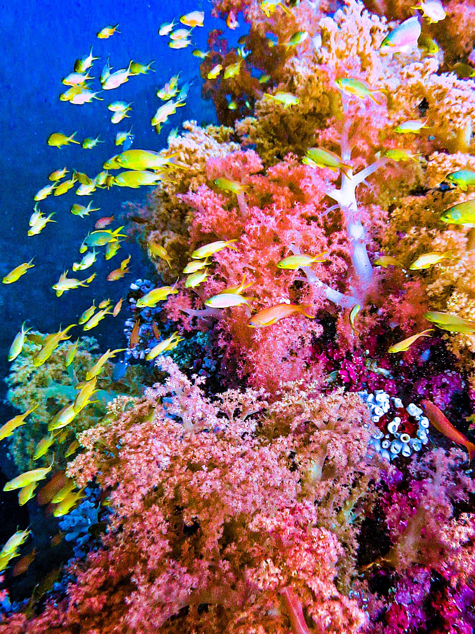 Numerous colorful tropical reef fishes swim about colorful coral formations in one of the top dive sites in the Philippines