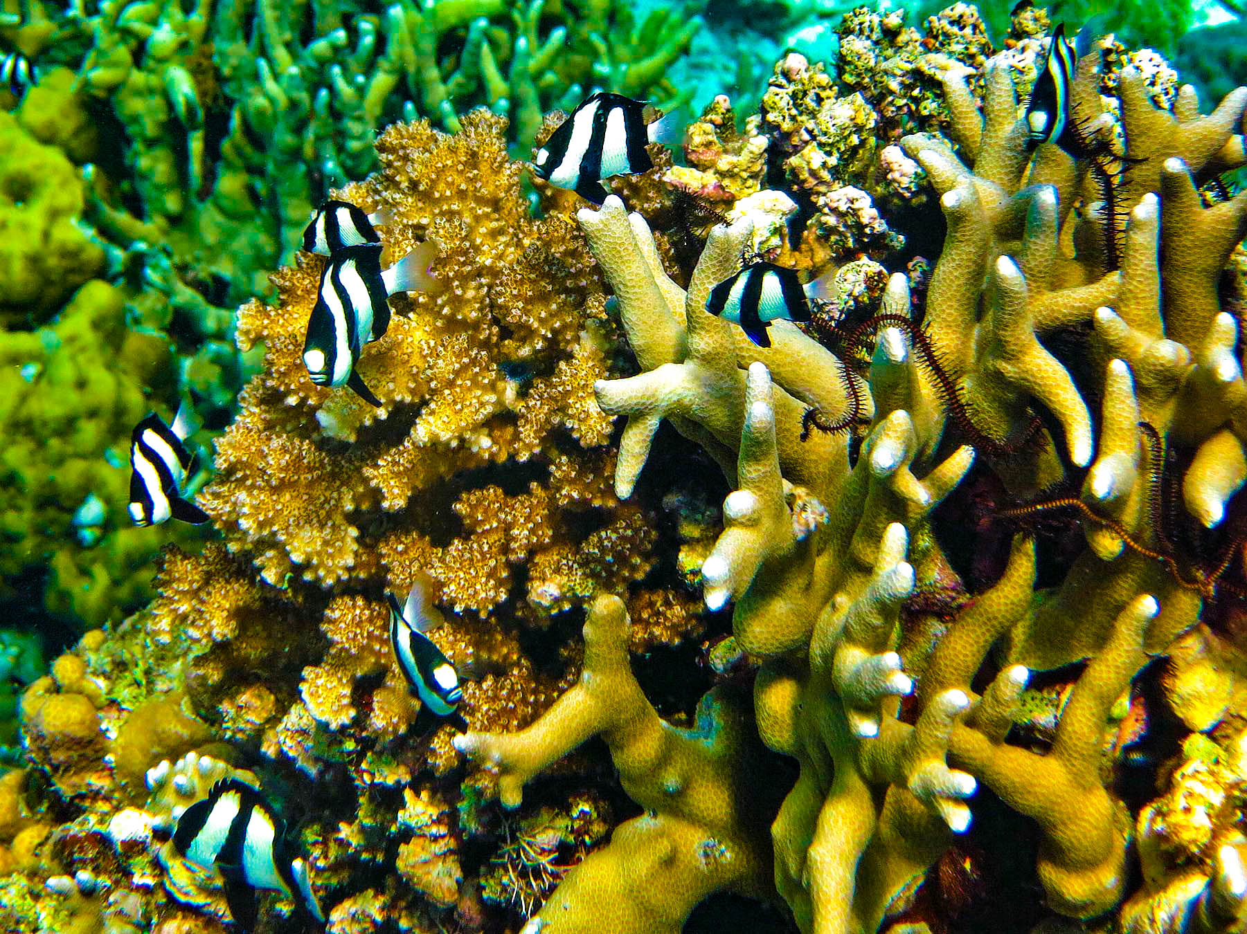 Colorful tropical reef fishes swimming about colorful coral formations in one of the top dive sites in the Philippines