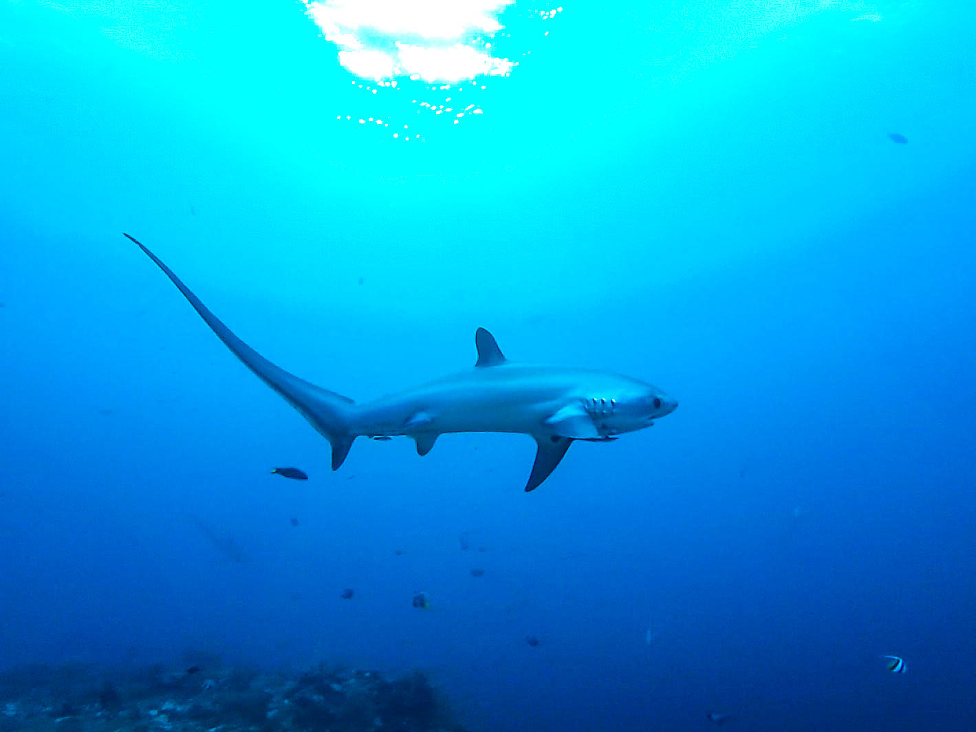 Thresher shark swimming above a coral reef in Monad Shoal, Philippines