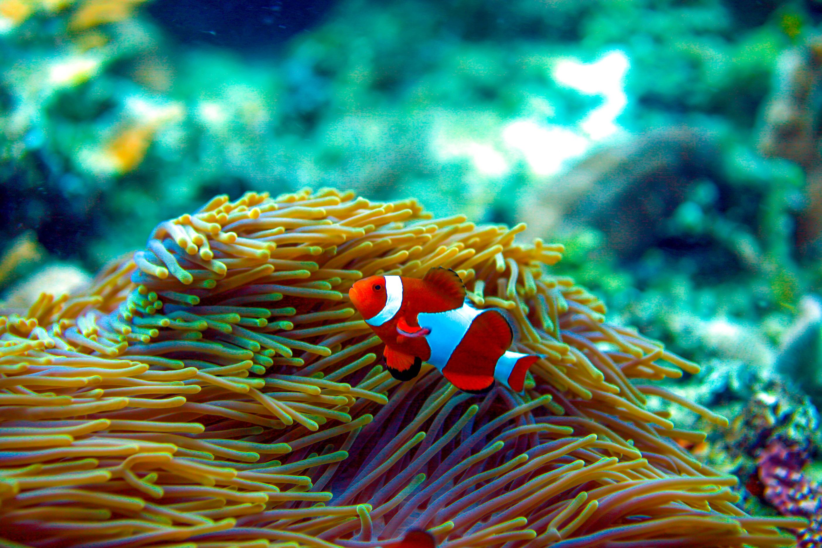 Clownfish and its sea anemone in Philippine waters