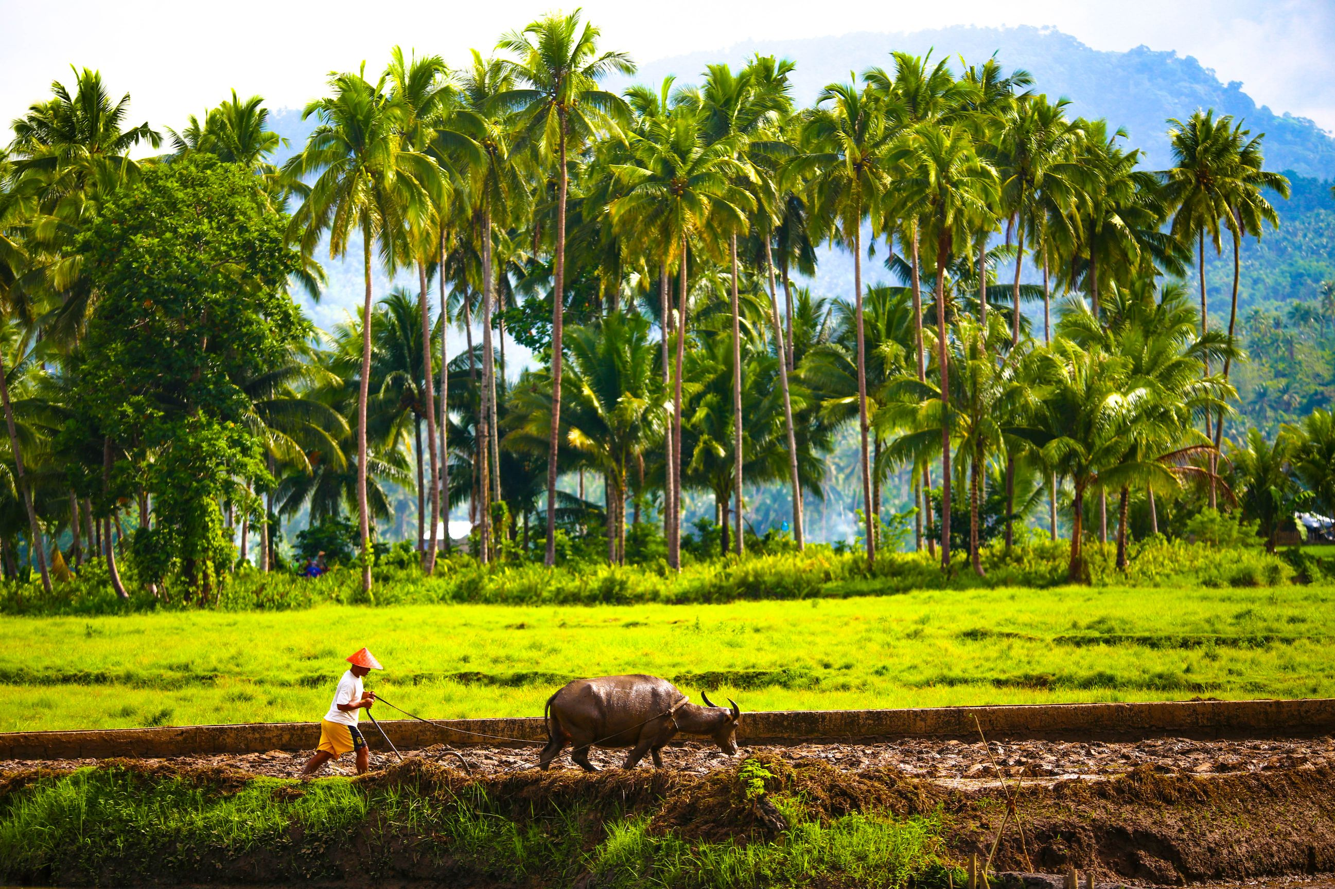 A Filipino farmer and his carabao tilling a field with coconut palms in the background