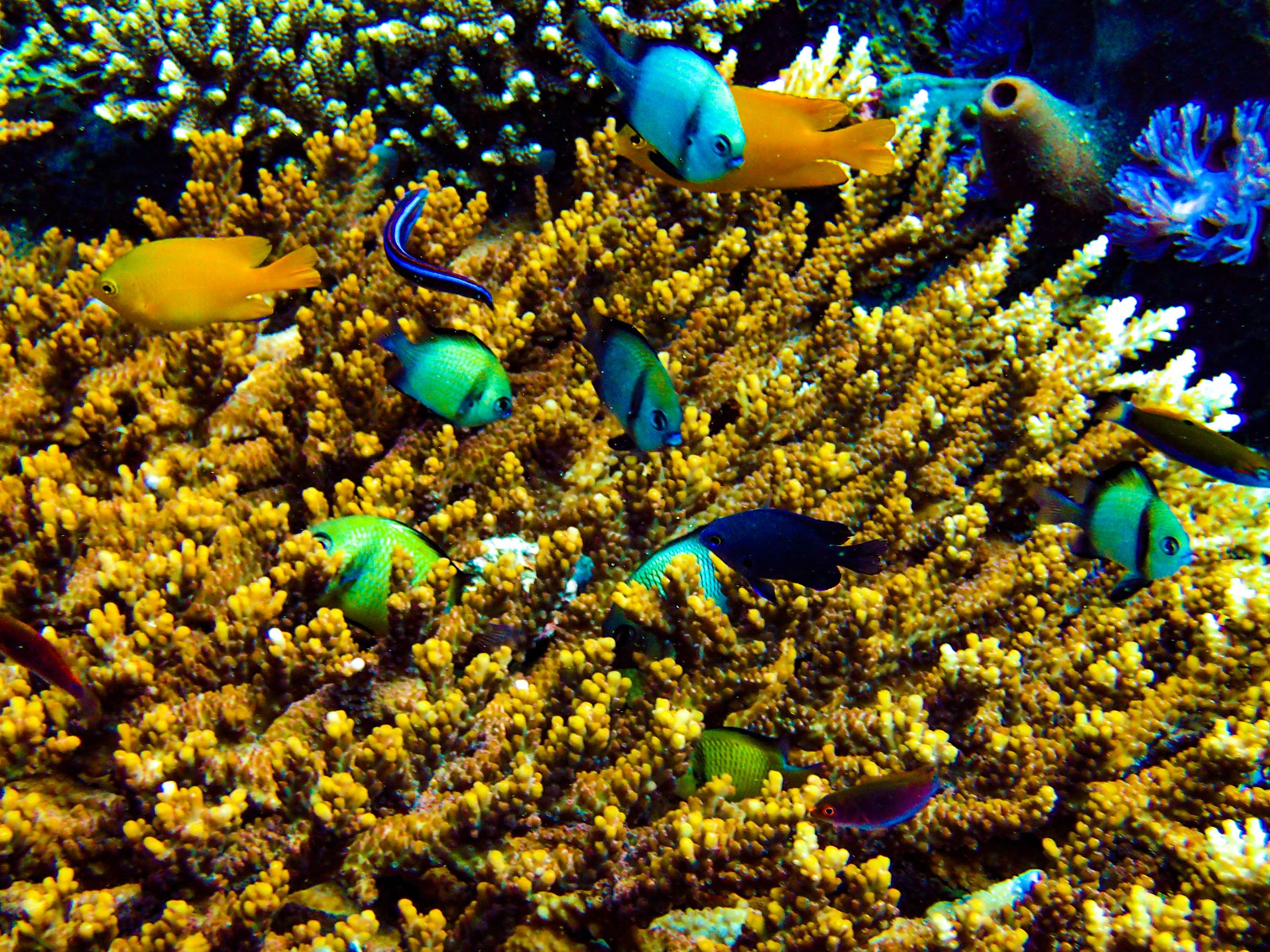 Numerous colorful tropical reef fishes swimming about colorful coral formations in Puerto Galera, Occidental Mindoro, Philippines