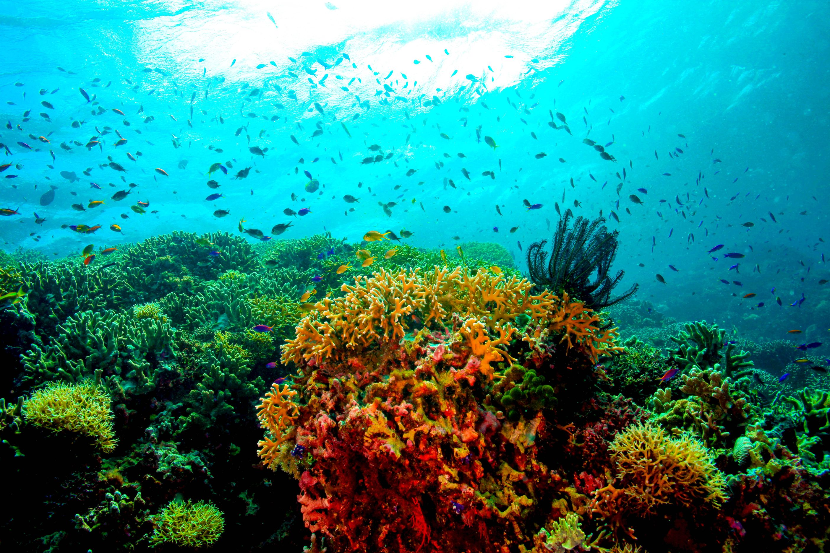 Numerous colorful fishes swim above colorful coral formations in Tubbataha Reef, Palawan, Philippines