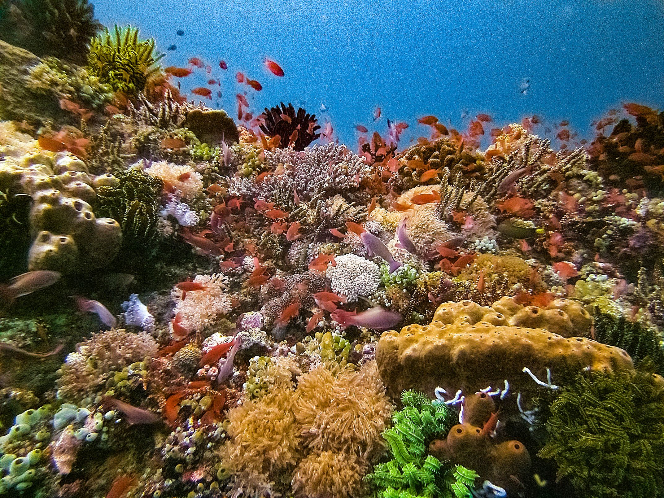 Schools of multicolored fishes swimming about multicolored coral formations in Verde Island Passage, Batangas, Philippines