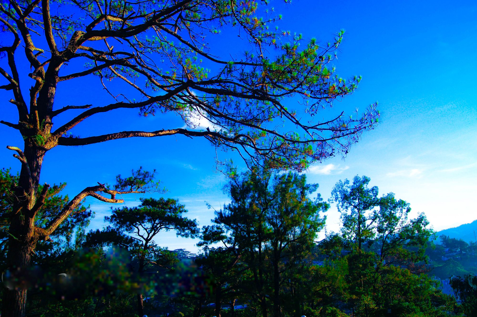 Pine trees under a blue sky