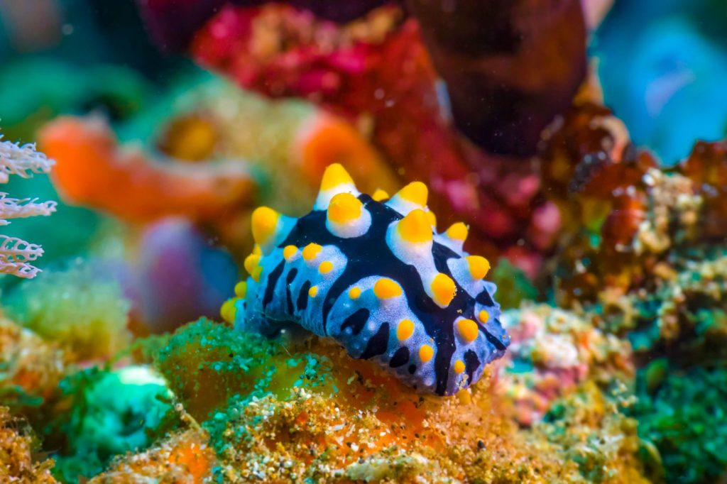 A close-up shot of a colorful nudibranch, or sea slug, in Anilao, Batangas, one of the best places to visit in the Philippines