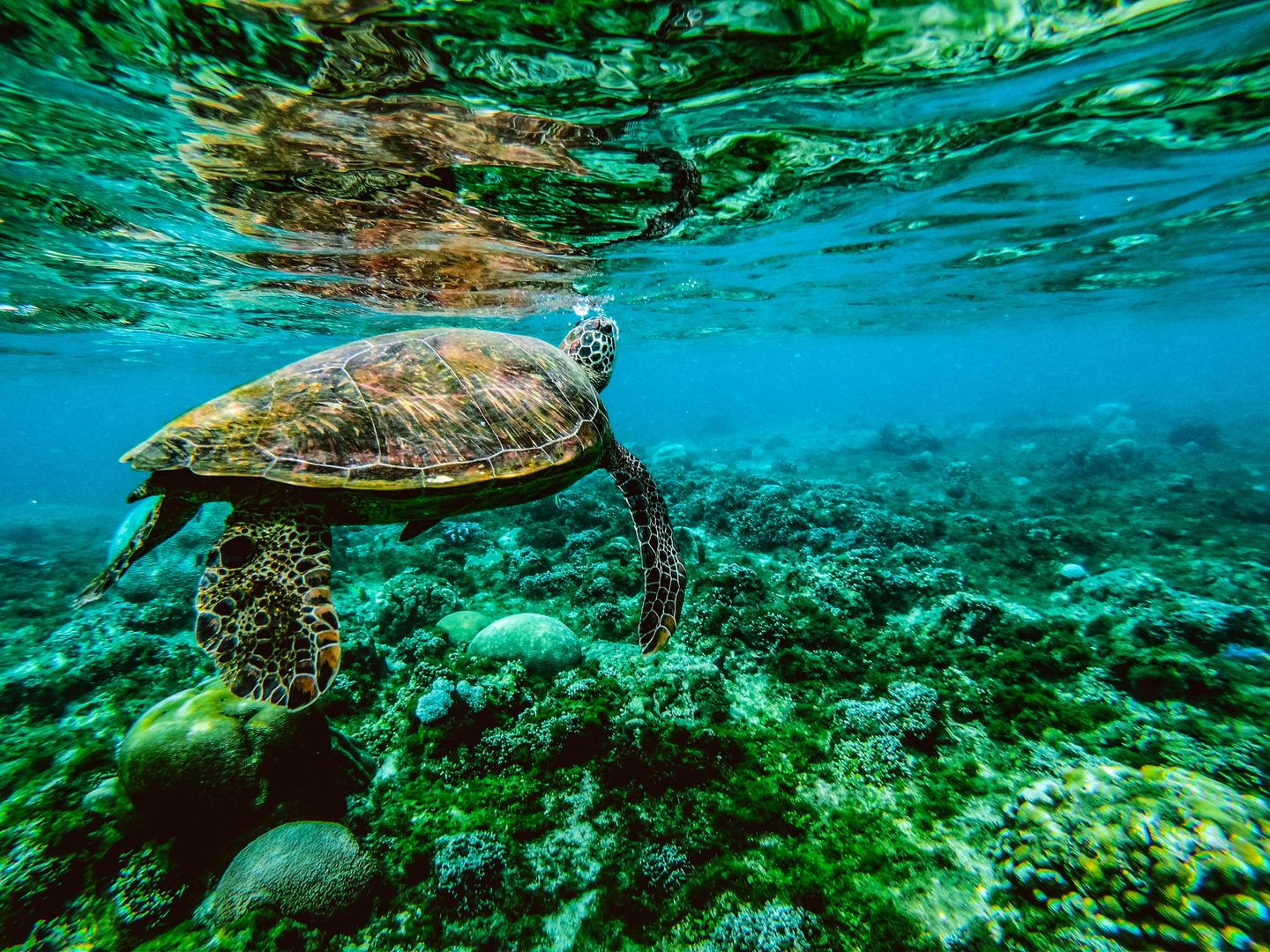 A sea turtle swimming over coral reefs in Apo Island, one of the best places to visit in the Philippines