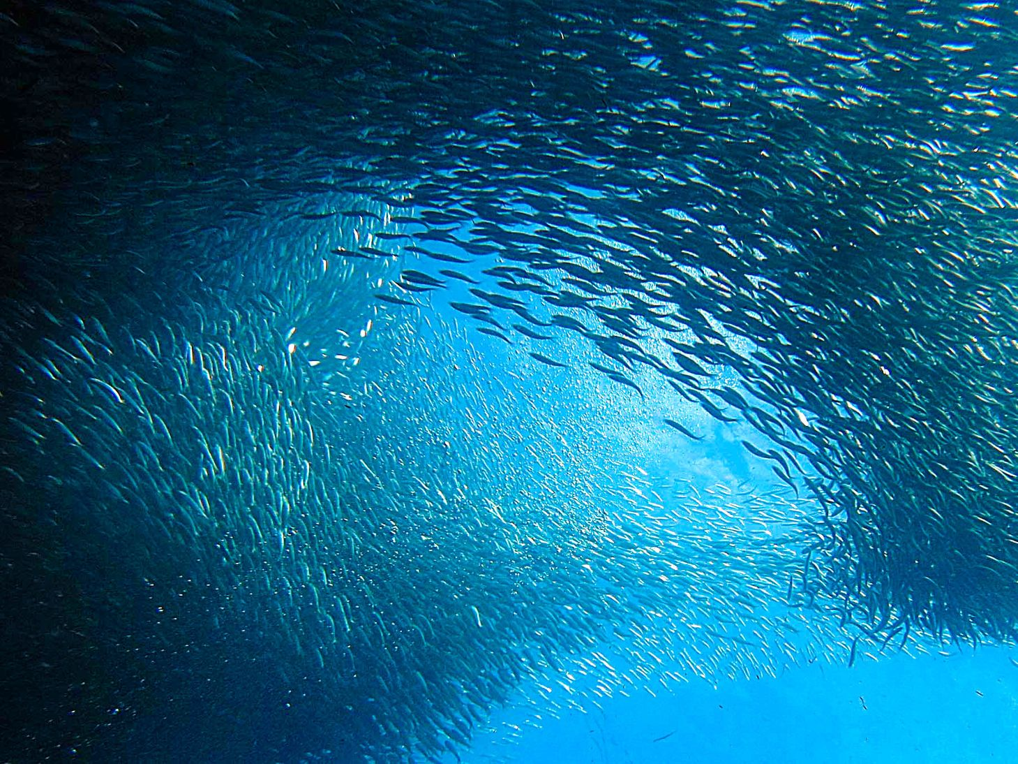 Schools of numerous fishes forming a vast cluster in Moalboal, one of the best places to visit in the Philippines
