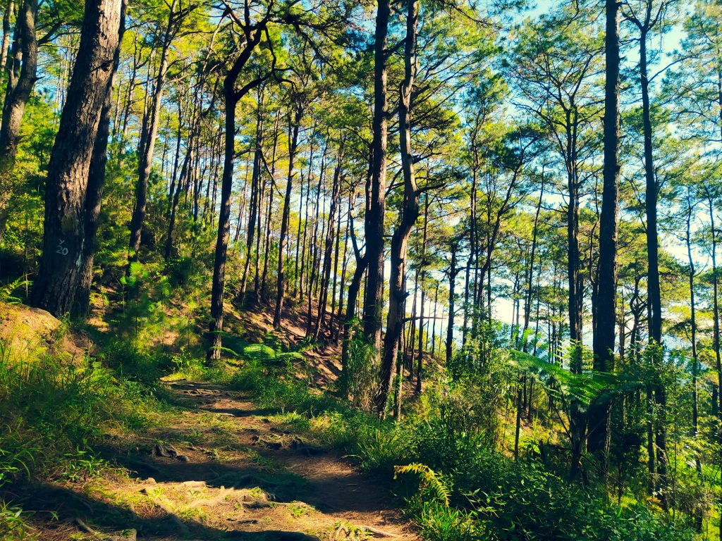 A dirt footpath winding beneath pine trees in the Forest Bathing Trail