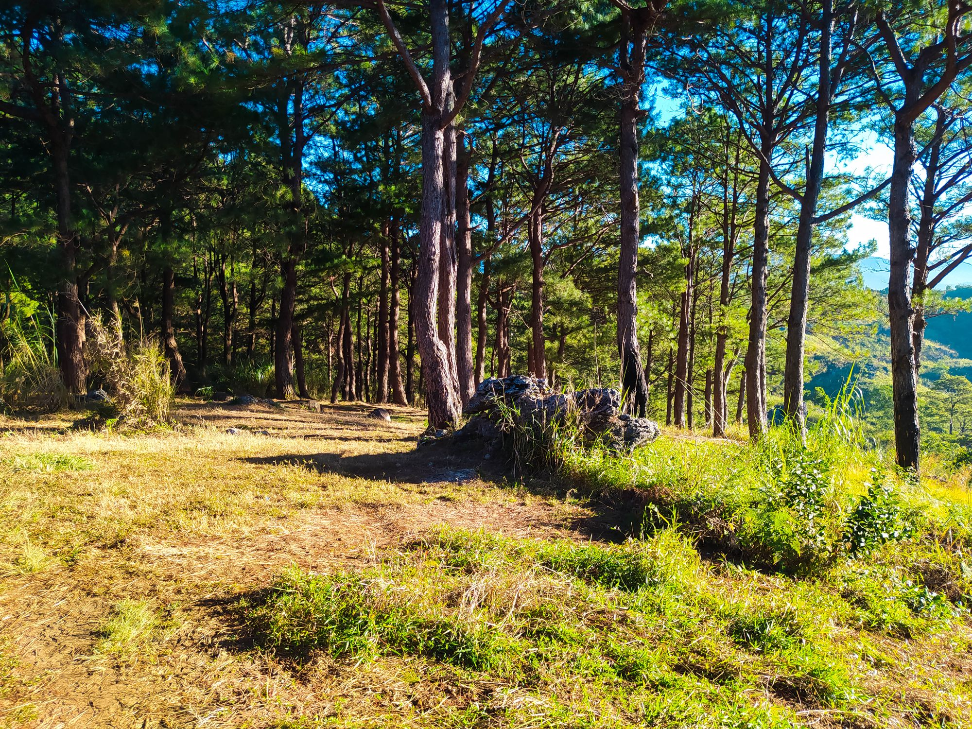 Sunlit area with grasses, rocks, and pine trees at Mount Kalugong