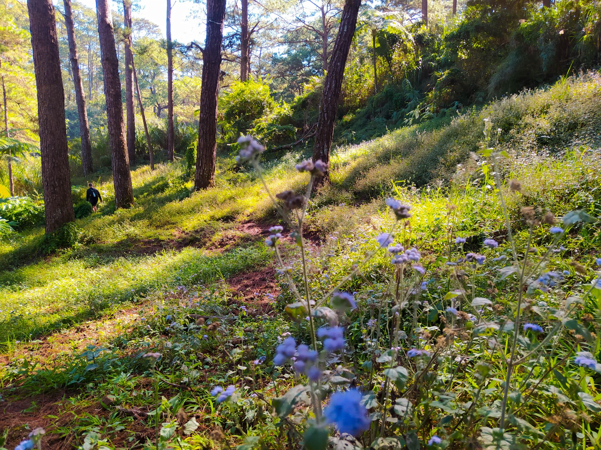 Blue wild flowers on a verdant slope clad with grass and pine trees