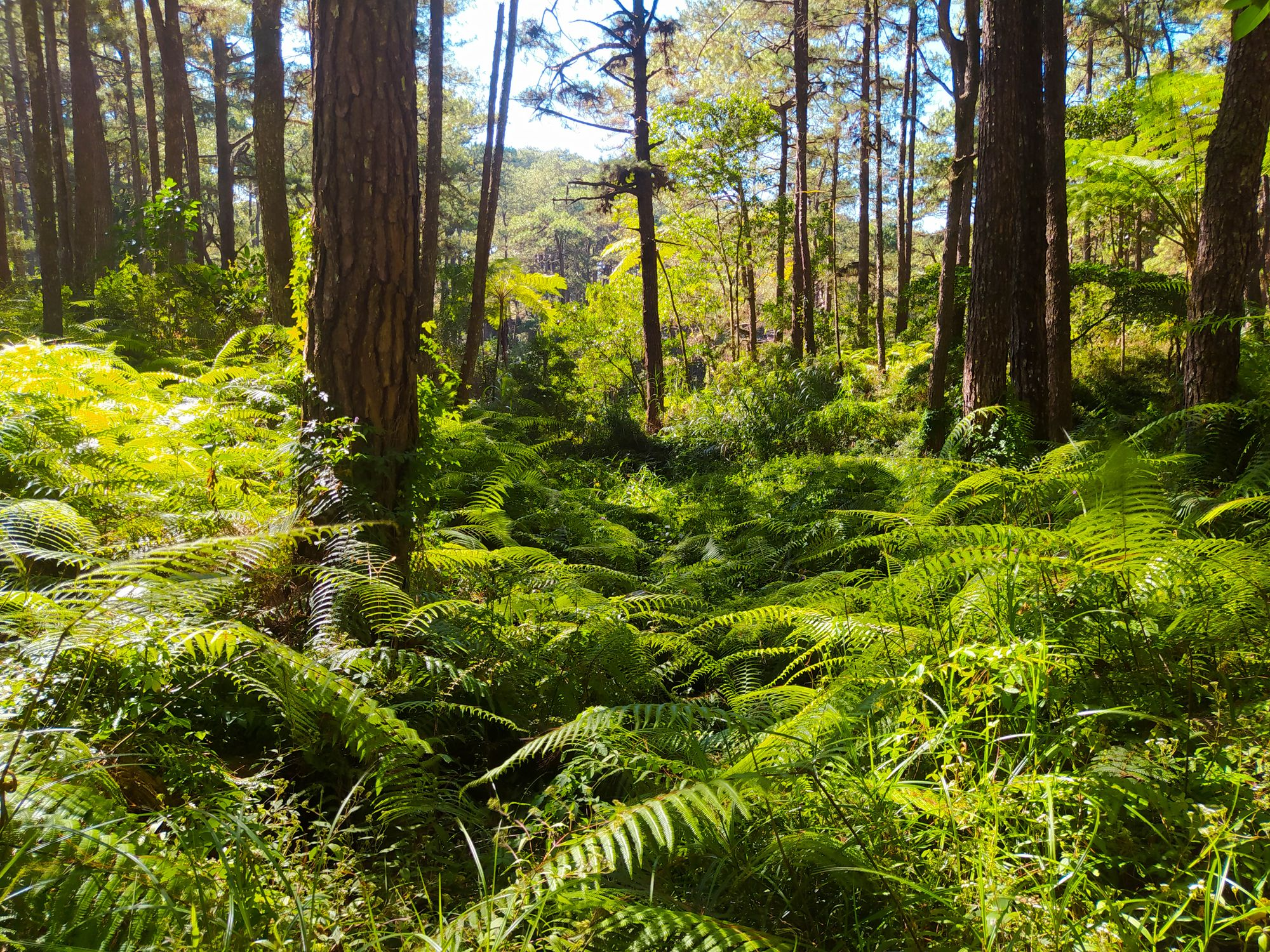 A dense carpet of ferns and other undergrowth beneath pine trees somewhere along the Eco-Trail