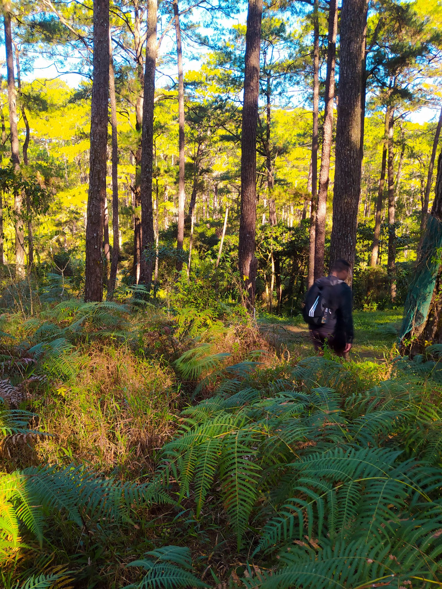 Man walking through a thick mass of ferns in the middles of a pine woodland