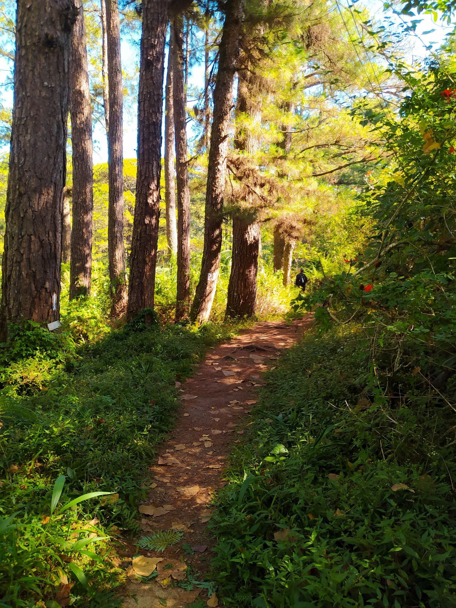 Dirt footpath running between thick vegetation and pine trees somewhere along the Eco-Trail