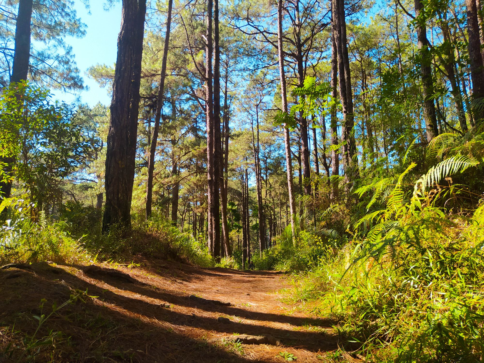 Dirt foot path going through thick vegetation and pine trees somewhere along the Eco-Trail