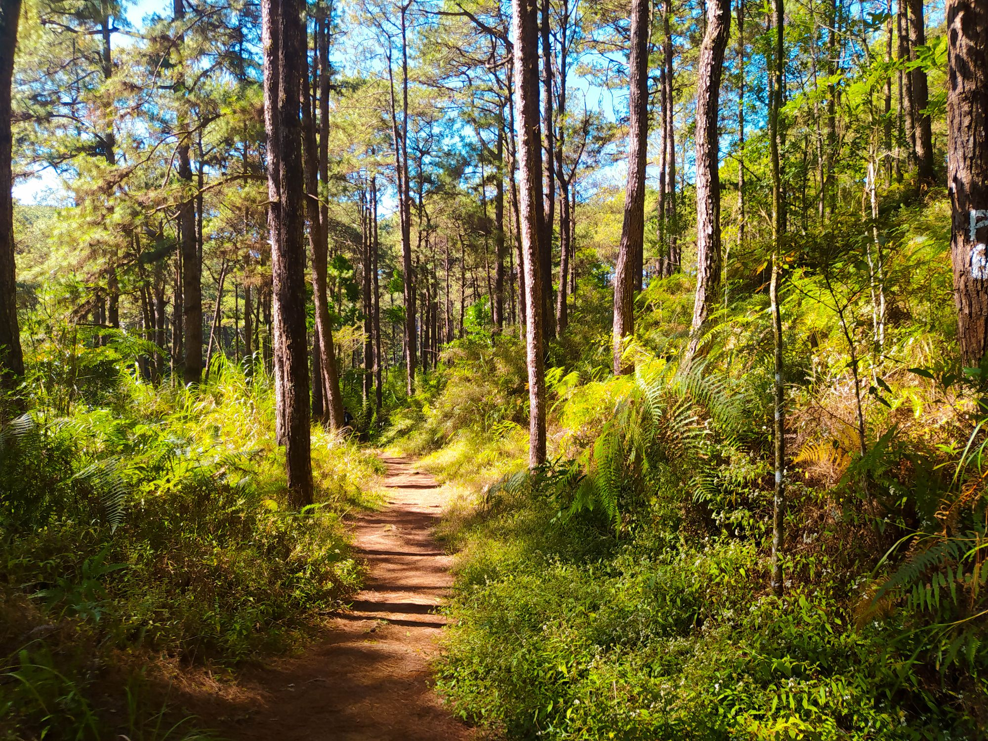 Dirt footpath running through vegetation and pine trees beneath a blue sky somewhere along the Eco-Trail