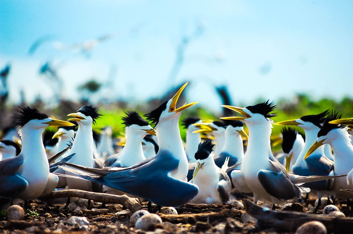 A flock of black and white seabirds with yellow beaks