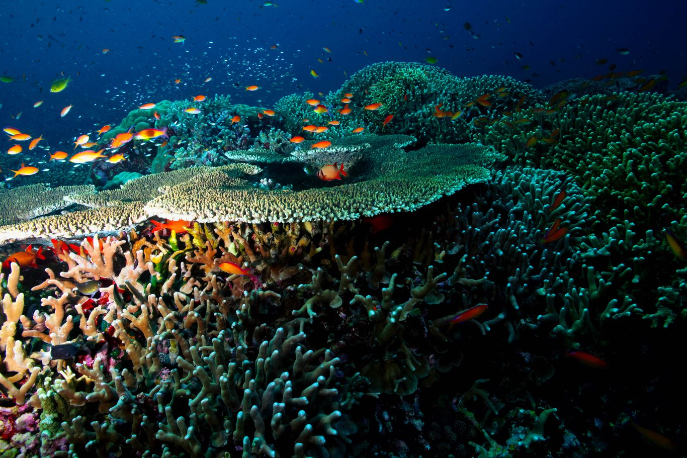 Schools of colorful reef fishes flit in and out of the equally colorful coral reefs in the Tubbataha Reefs Natural Park, one of the UNESCO World Heritage Sites in the Philippines
