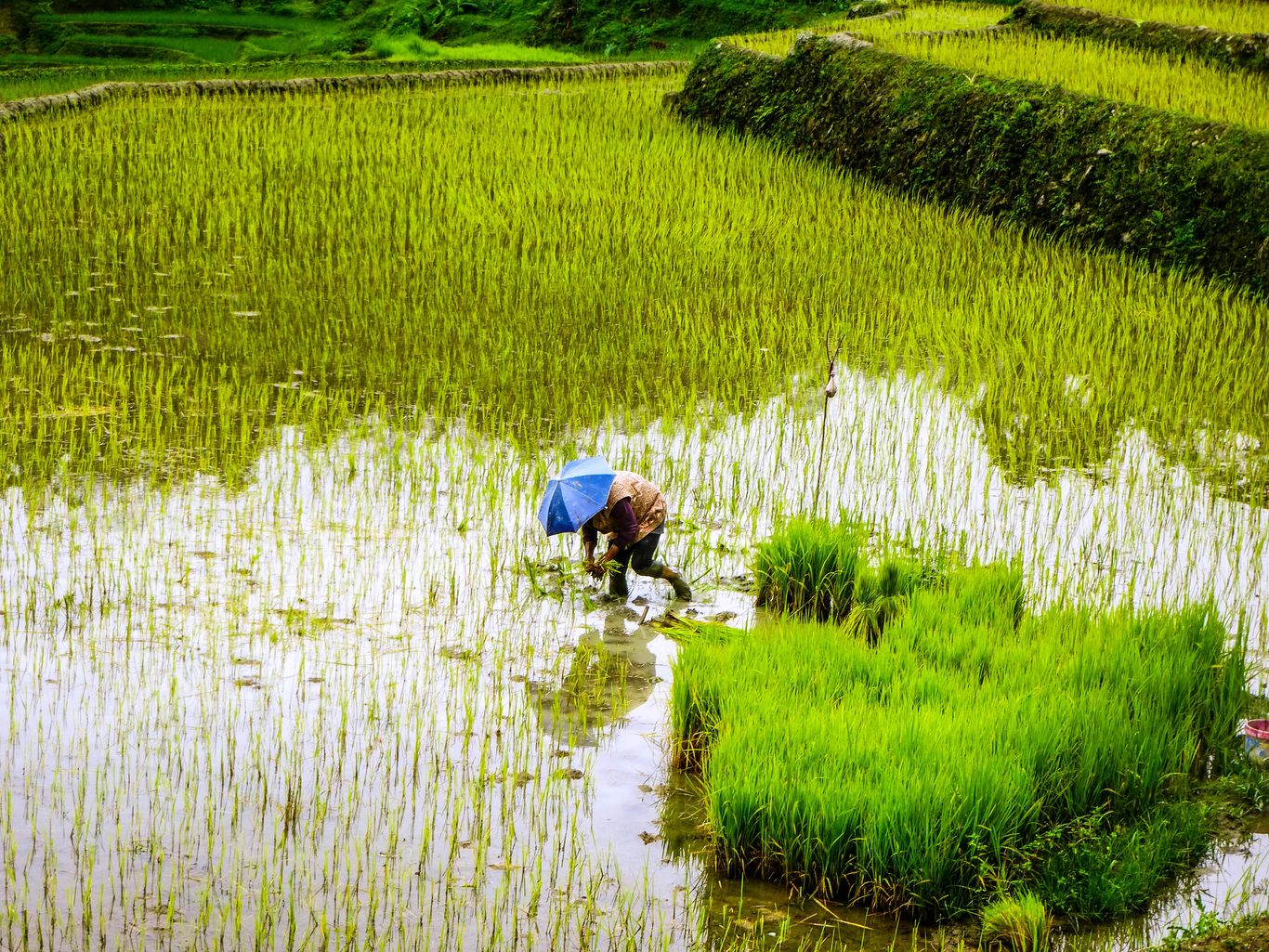 A farmer plants rice on a terraced paddy field that is part of the Rice Terraces of the Philippine Cordilleras, one of the UNESCO World Heritage Sites in the Philippines