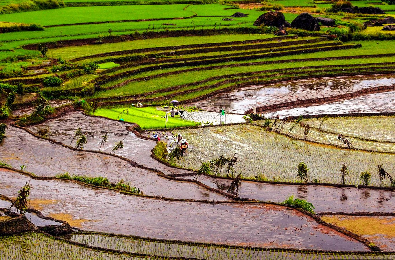 Farmers plant rice on wide terraced paddy fields