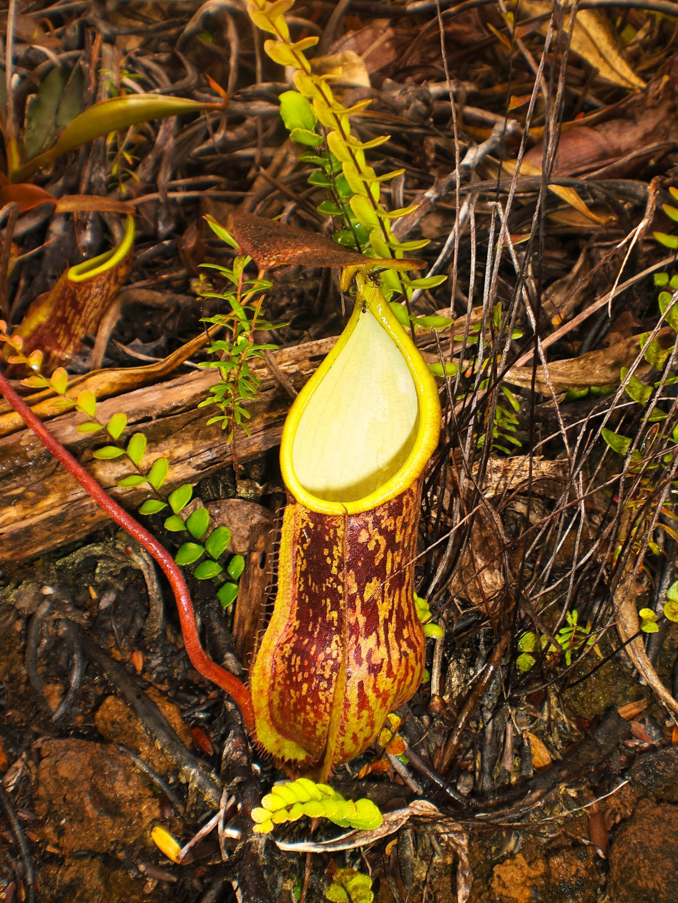 A brown-bodied pitcher plant at the Mount Hamiguitan Range Wildlife Sanctuary, one of the UNESCO World Heritage Sites in the Philippines