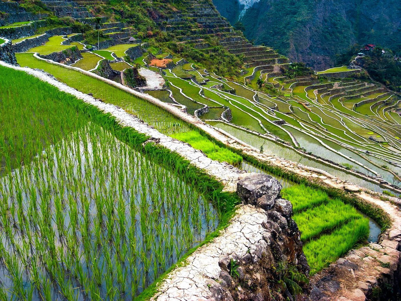 Green rice plants grow on terraced paddy fields carved on the slope of a steep mountain, forming part of the Rice Terraces of the Philippine Cordilleras, one of the UNESCO World Heritage Sites in the Philippines