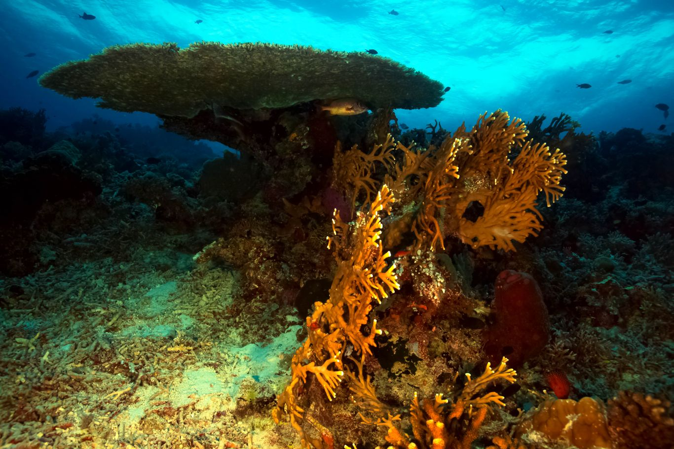 Table corals on the seafloor at the Tubbataha Reefs Natural Park, one of the UNESCO World Heritage Sites in the Philippines