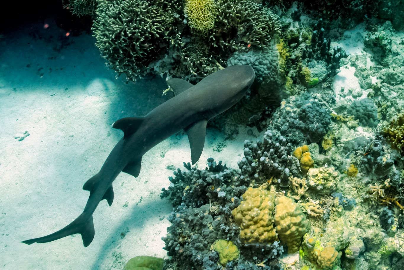 A whitetip reef shark swimming over corals