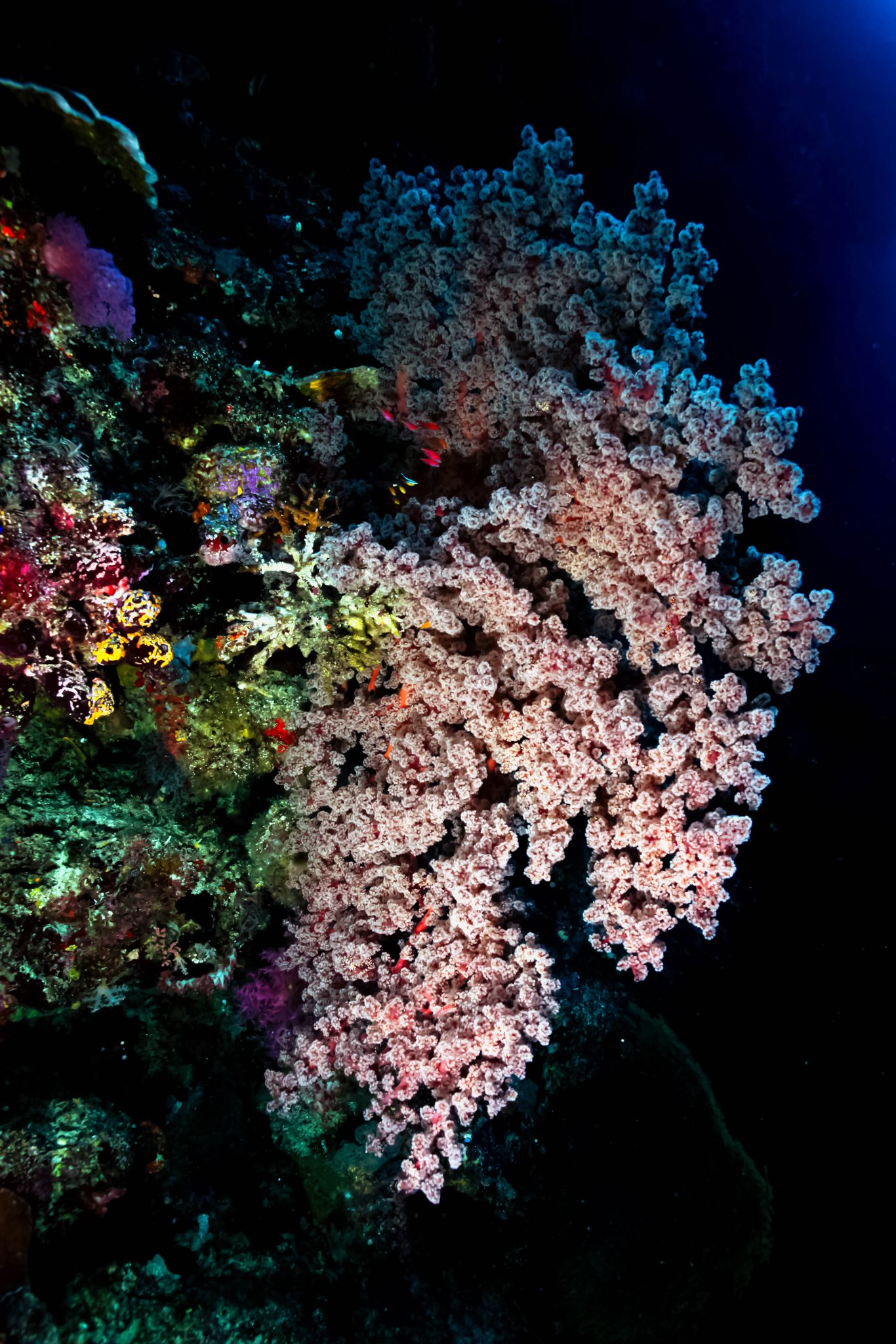 Pink and colorful corals