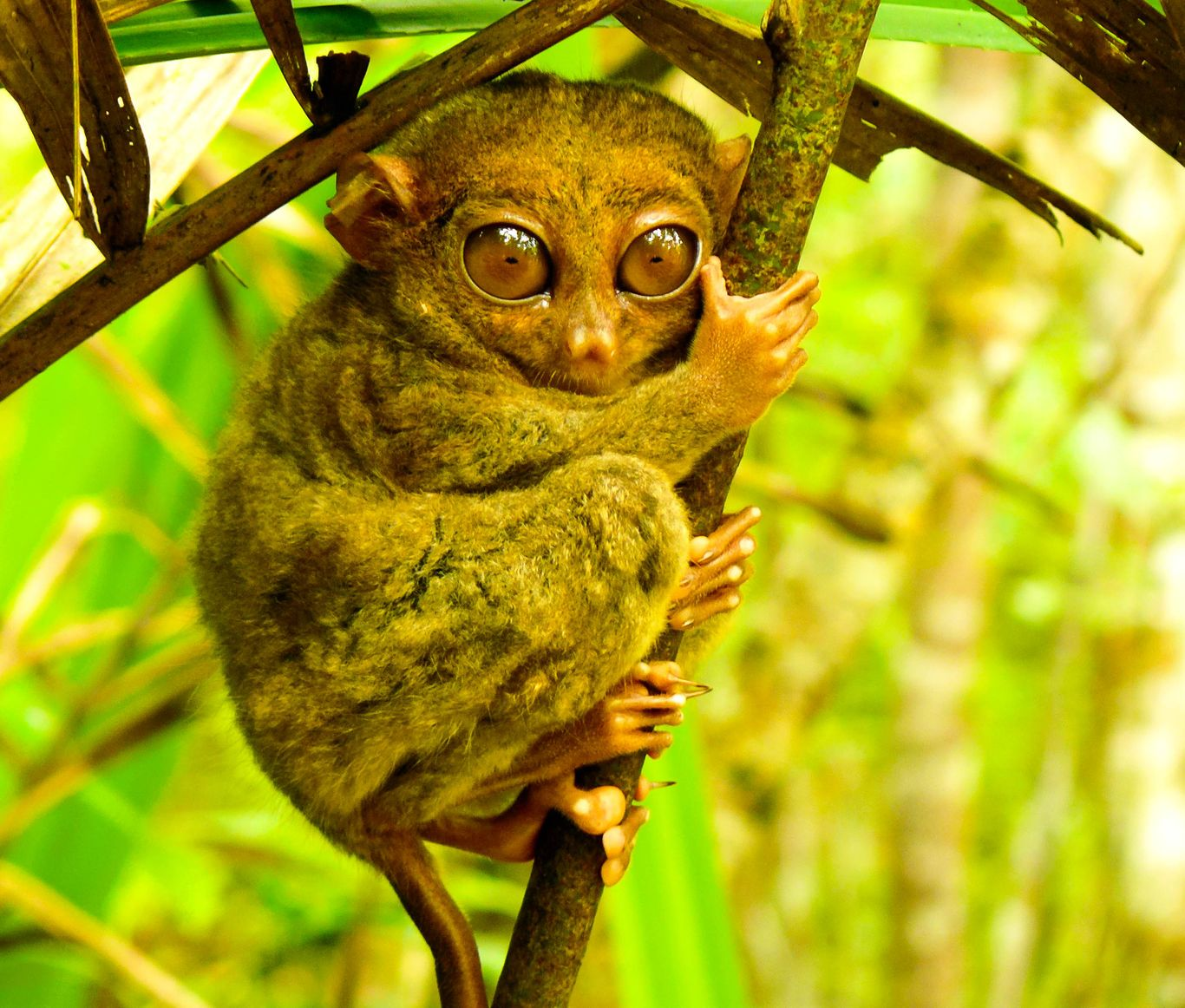 A Philippine tarsier clinging to a thin branch