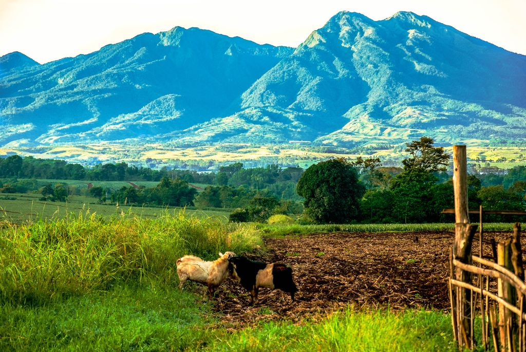 A pair of goats or sheep stand in the middle of a green pasture backdropped by a lofty, forested mountain range, specifically the Kitanglad Mountain Range, one of the highest mountain ranges of the Philippines