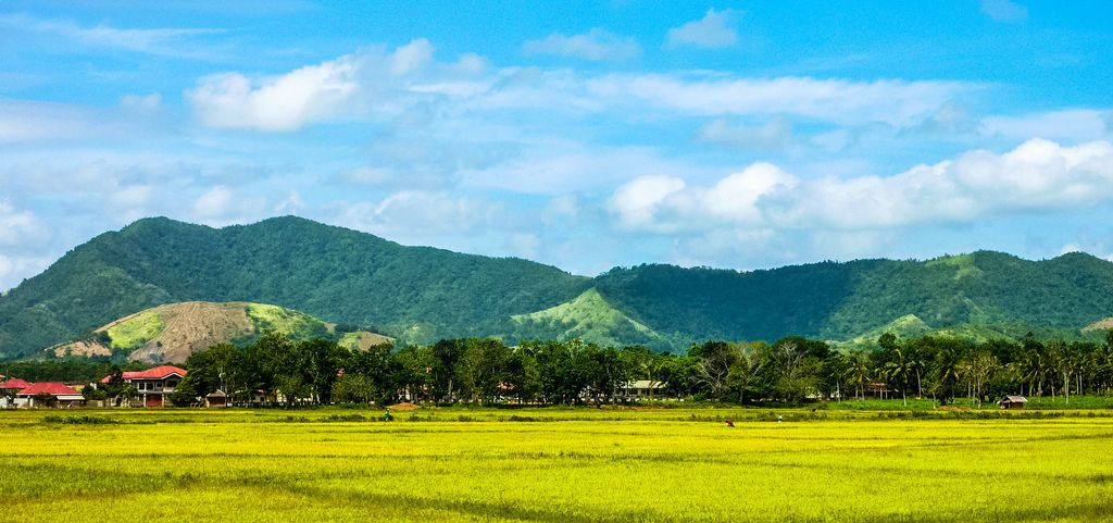 Yellow rice paddy fields and lines of trees backdropped by a forested mountain range