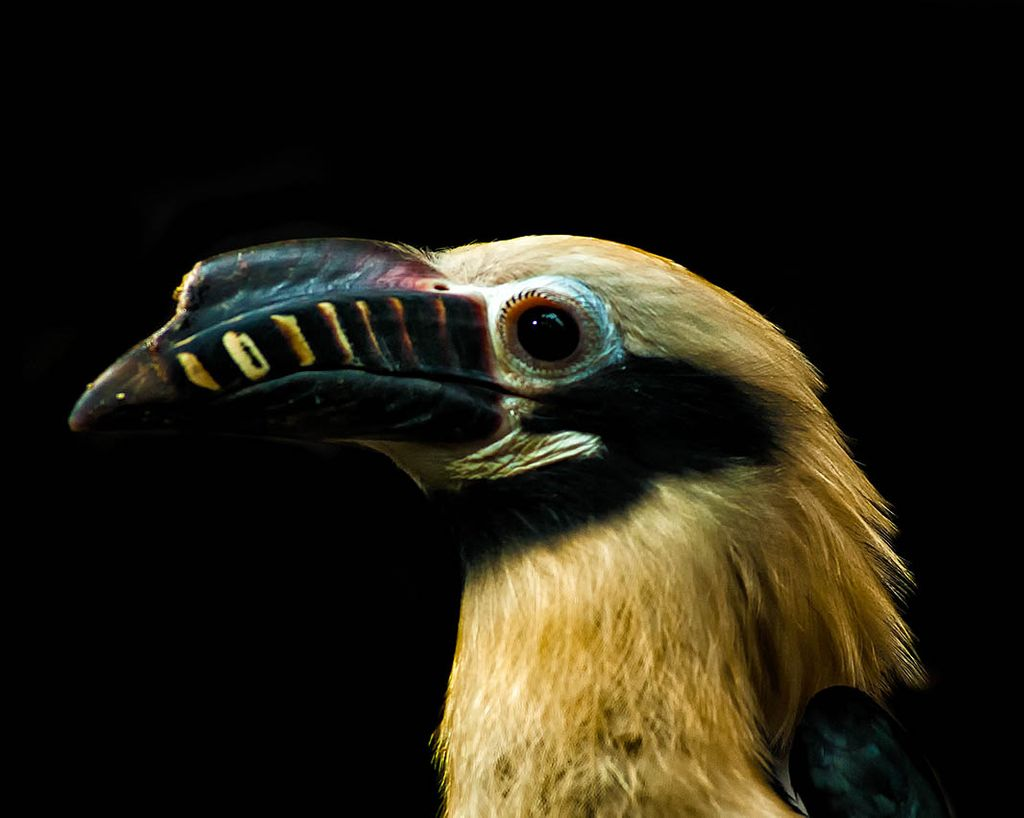 Close-up photo of the head and torso of a Visayan hornbill