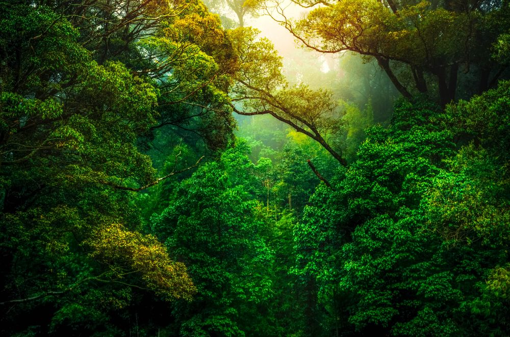 Muted sunlight filters through a very dense and green forest canopy