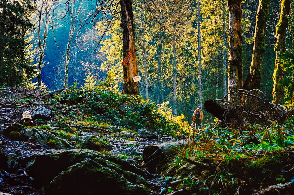 A person walks through a forest wilderness lit by early morning sunlight; he or she is likely practicing shinrin-yoku, or forest bathing
