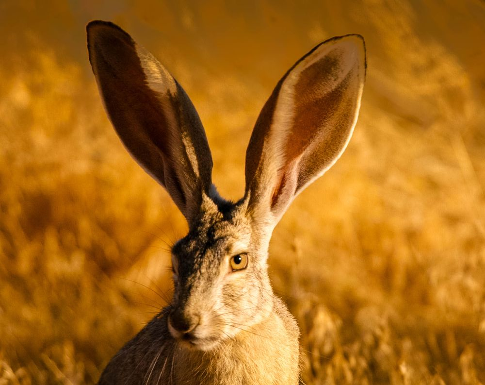 A close-up view of a jackrabbit