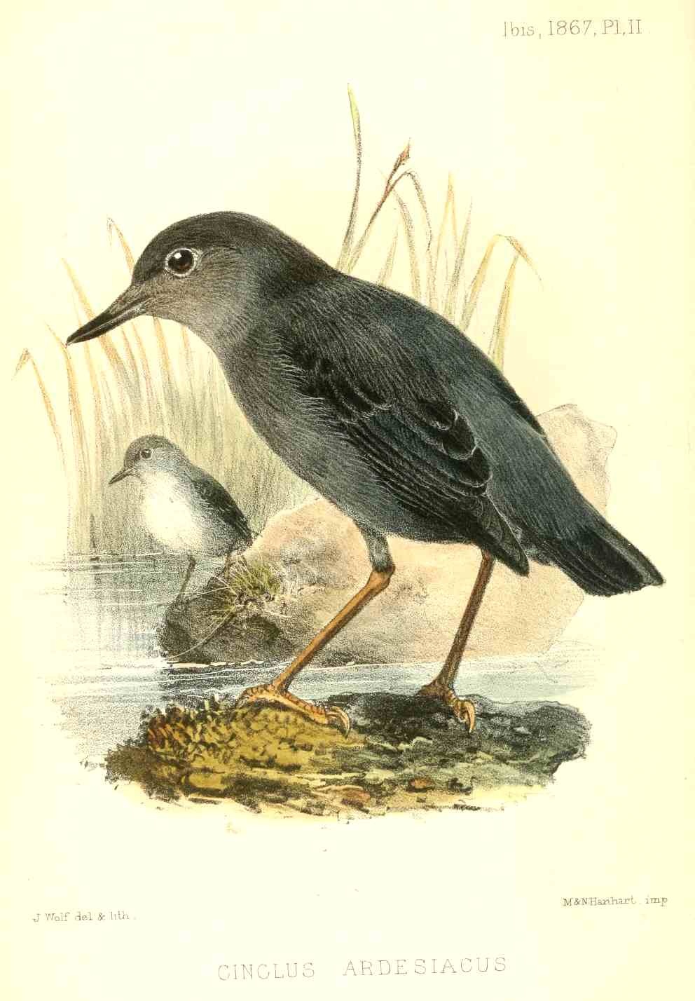 A painting of a water ouzel