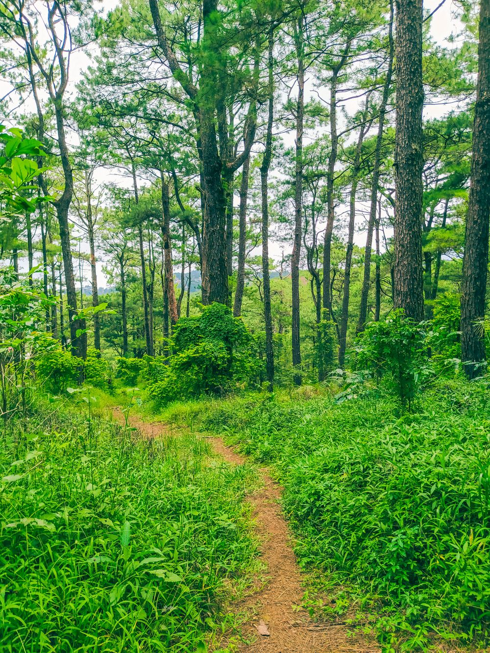 A brown dirt trail traversing through lush vegetation and tall trees in a forest