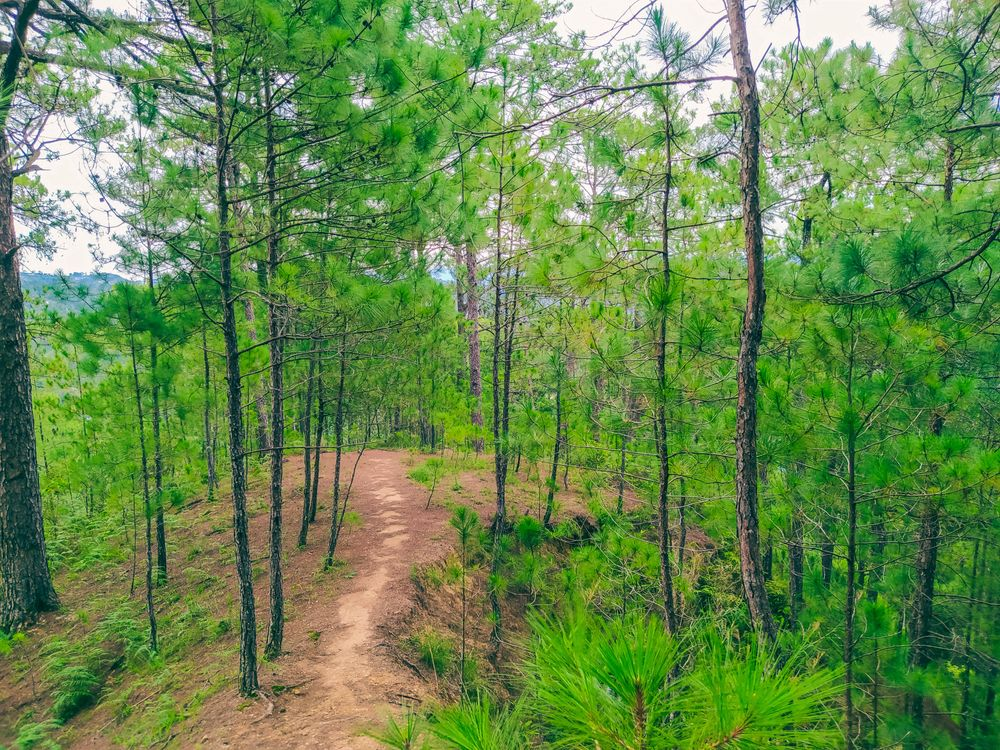 A narrow dirt path winding through pine trees somewhere along the Yellow Trail