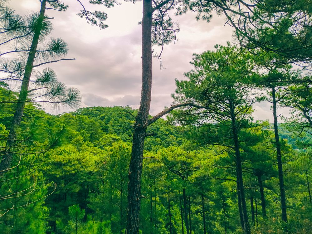 Green trees in a verdant forest beneath a grey, cloudy sky