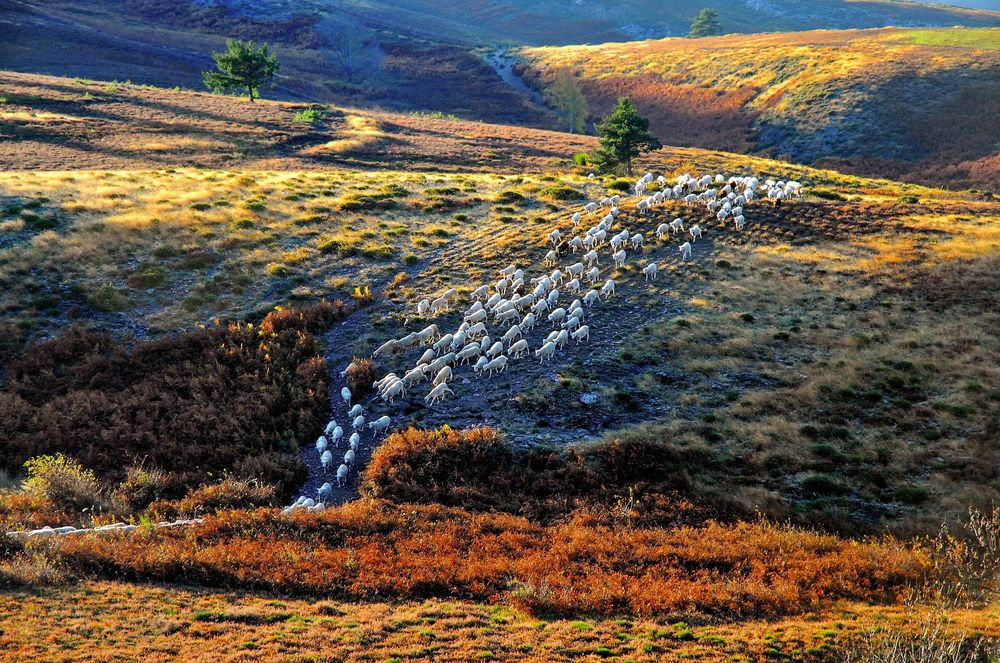 A flock of sheep moving through an rolling grassy landscape in autumn