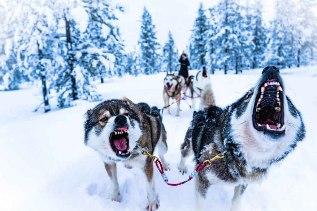 "Dogs pulling a sled in a snow-laden pine-clad landscape, used as a featured image for the article ""The Call of the Wild by Jack London: A Book Overview and Review"" on phmillennia"