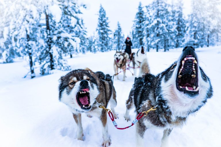 """Dogs pulling a sled in a snow-laden pine-clad landscape, used as a featured image for the article """"The Call of the Wild by Jack London: A Book Overview and Review"""" on phmillennia"""