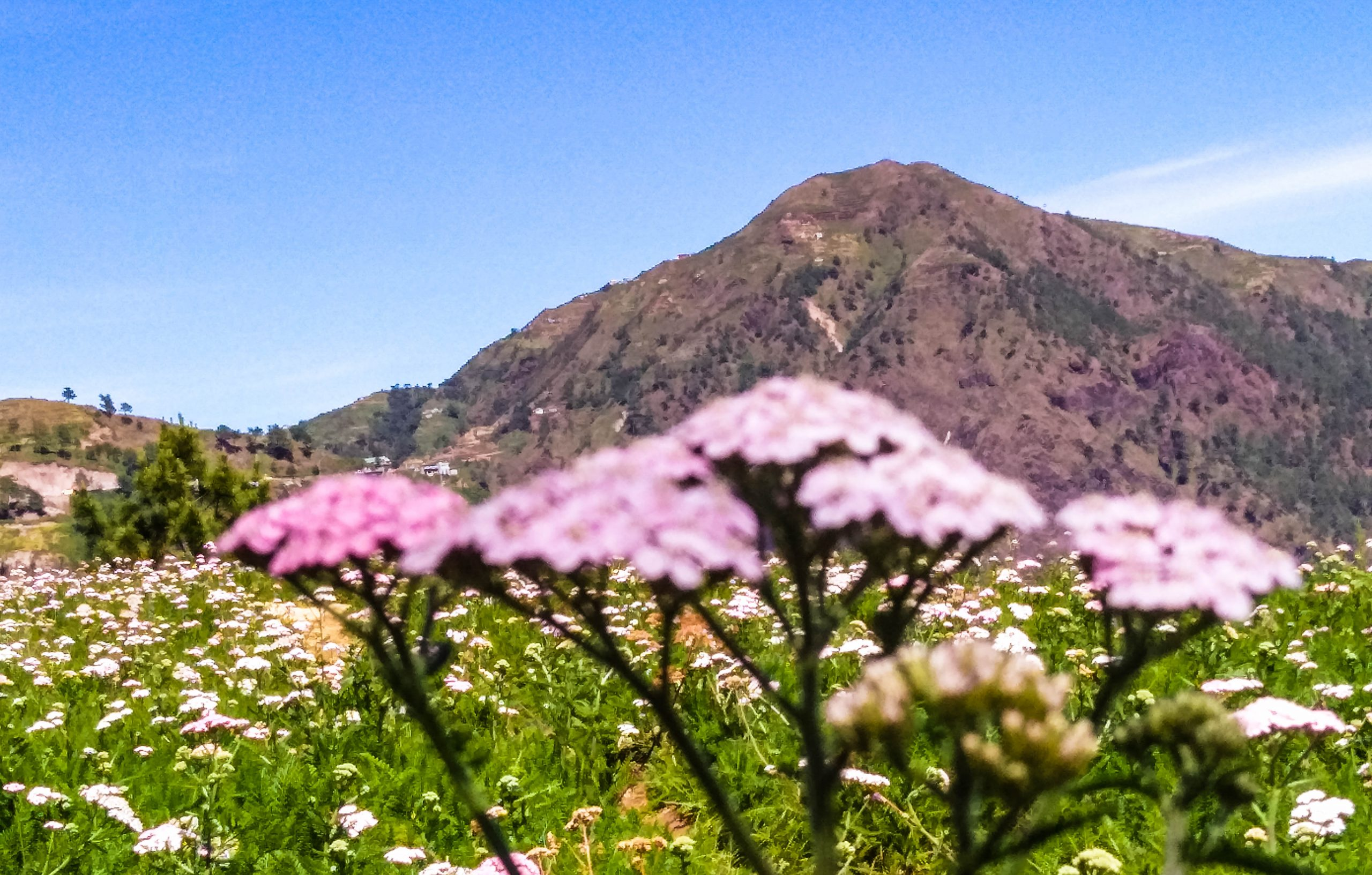 A photo of pink flowers backdropped by a brown mountain (Mount Timbak, one of the highest mountains in the Philippines)