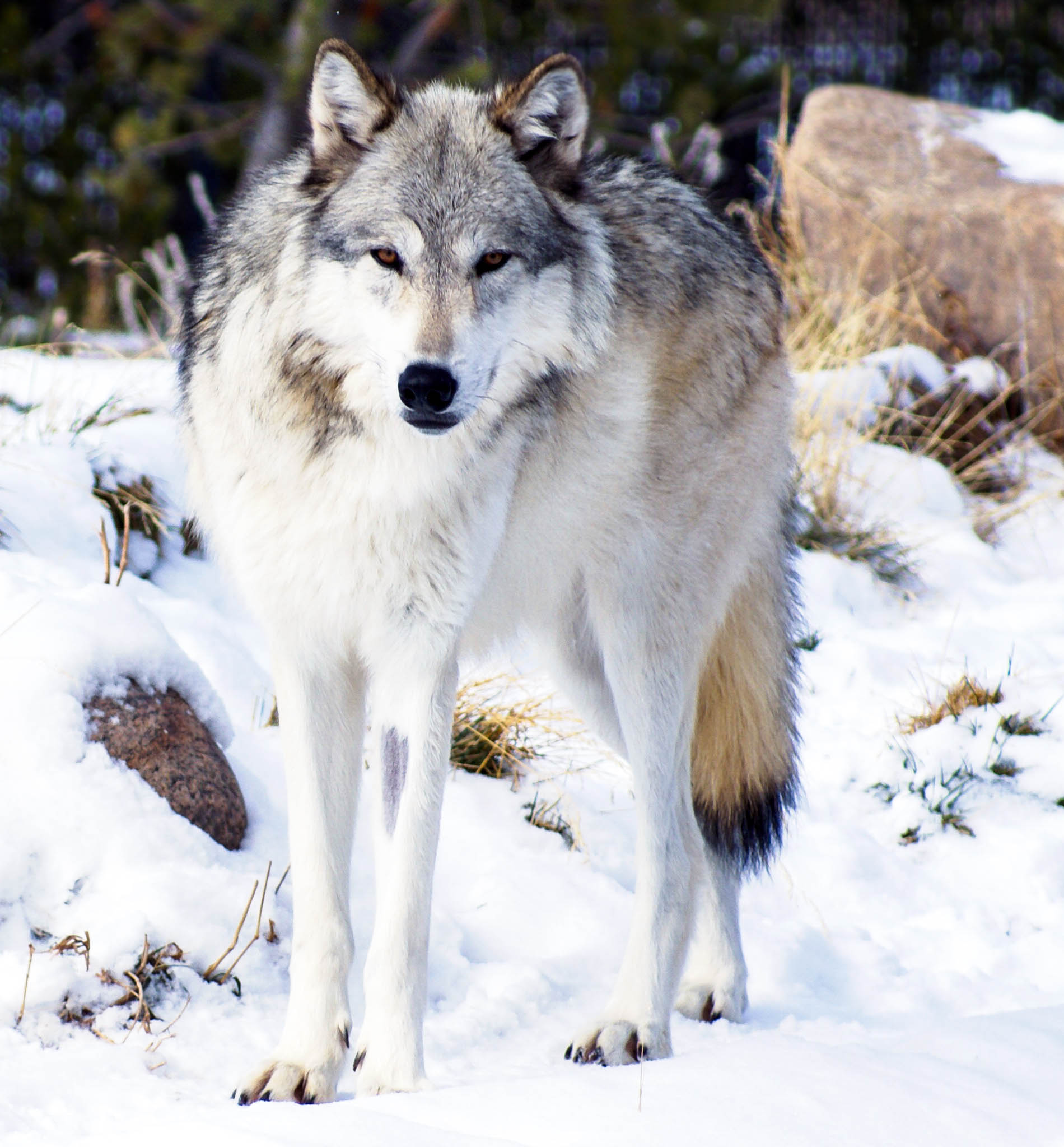 A wolf standing in snow