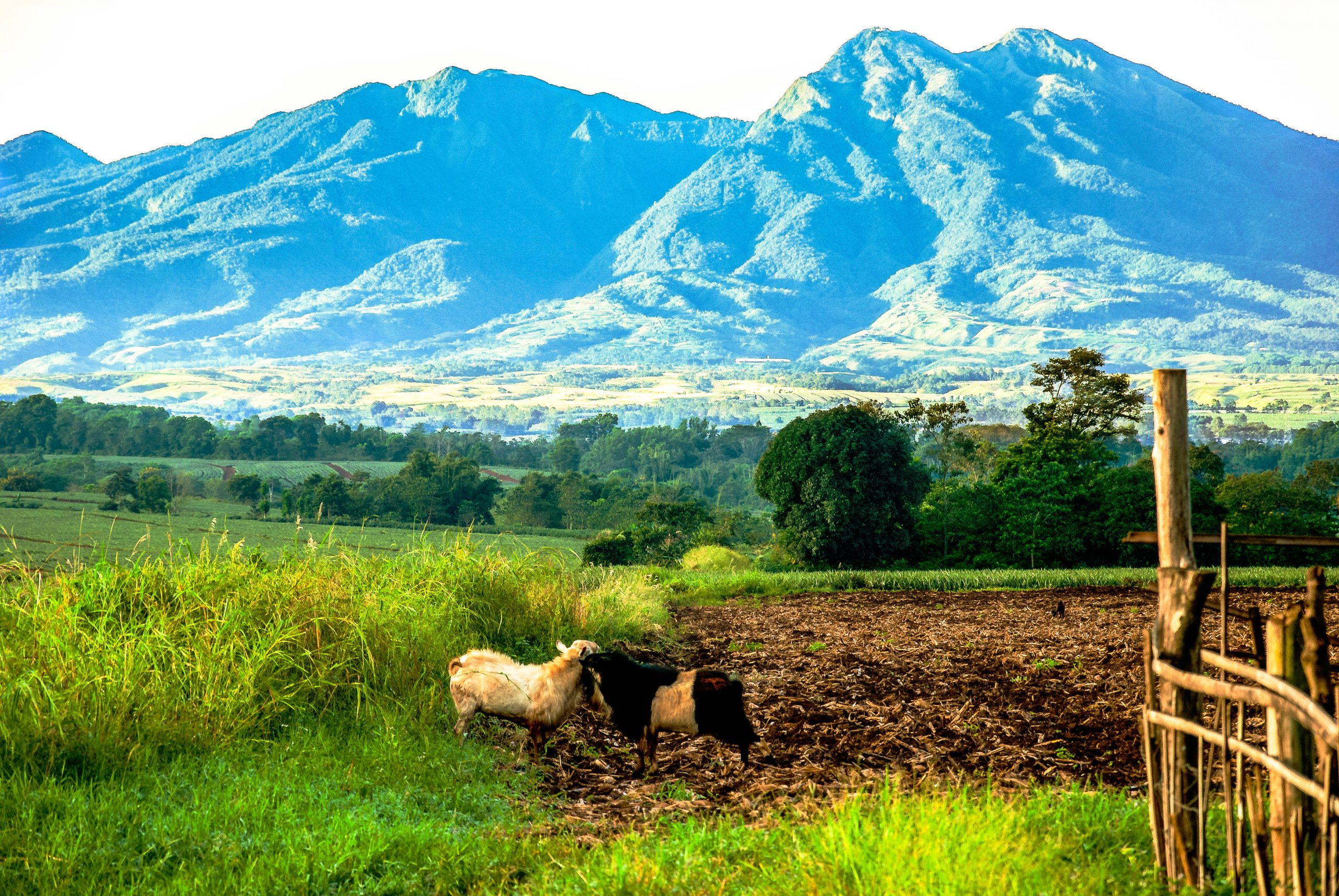 Farm animals stand on a grassy and wooded plain, backdropped by a towering green mountains (one of which is Mount Kitanglad, one of the highest mountains in the Philippines)