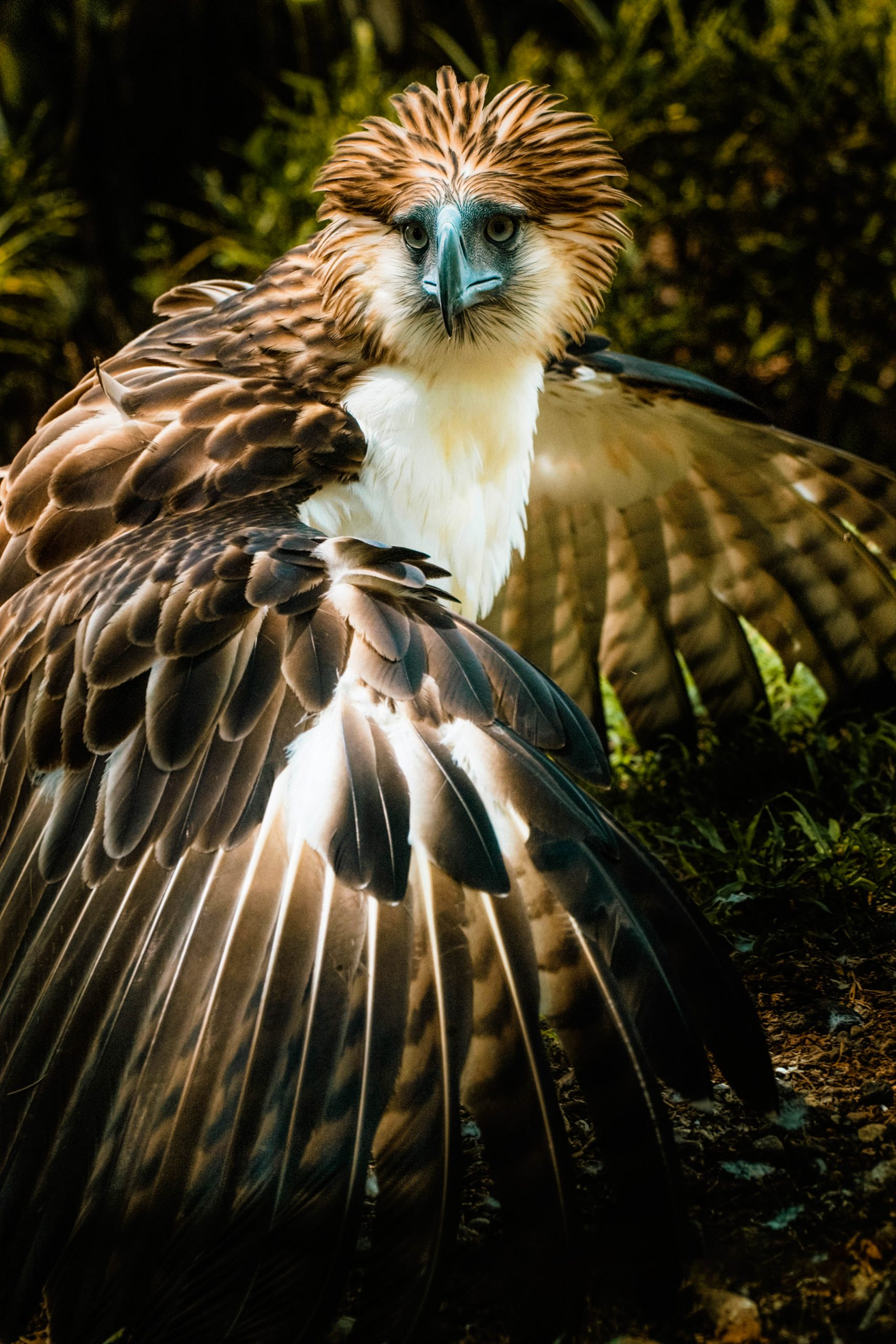 A Philippine eagle, with white, brown, and black feathers, one of the most remarkable fauna of Mount Apo, the highest mountain in the Philippines