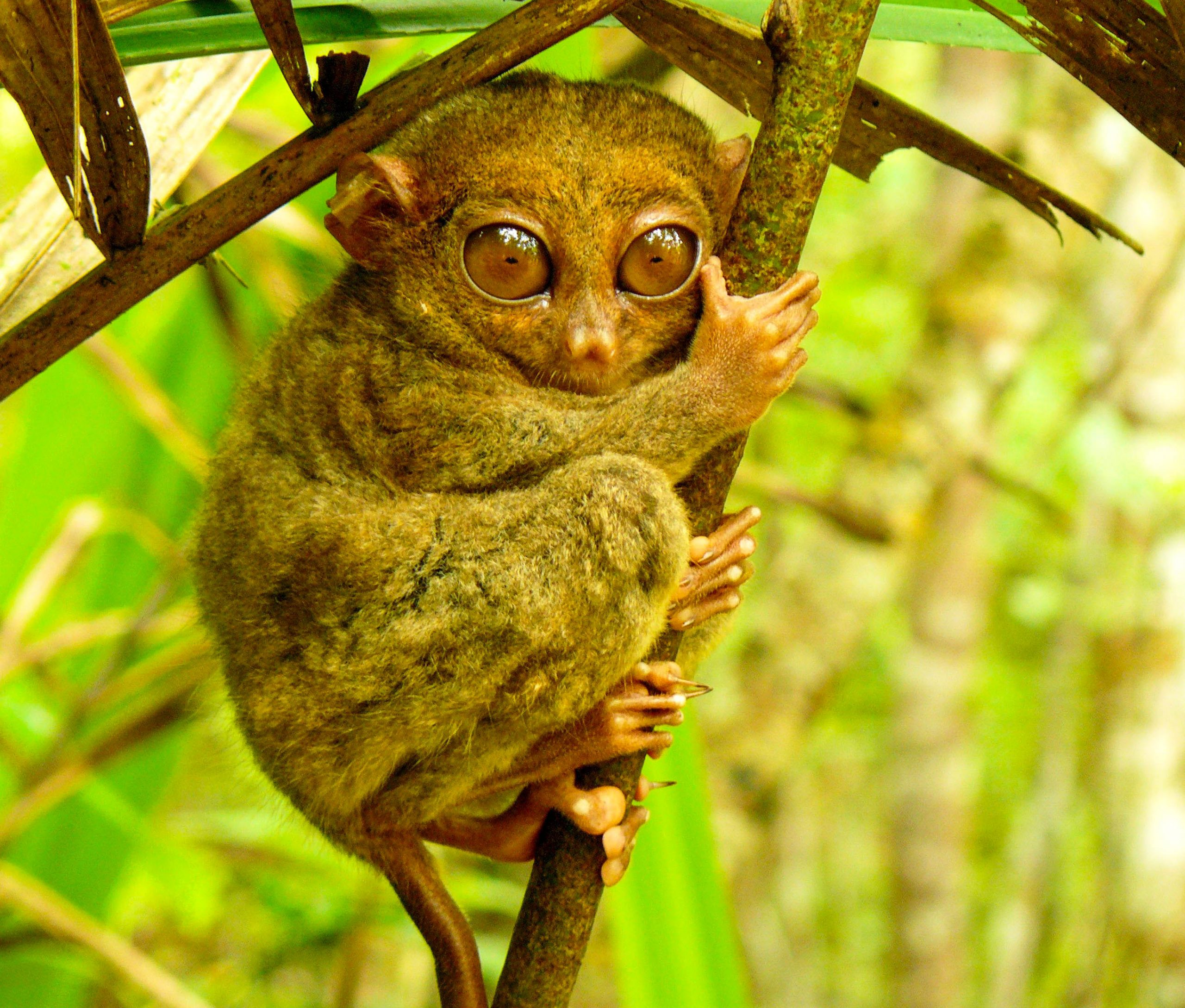 A tarsier, a small primate with large eyes, clings with both hands and feet to a thin branch