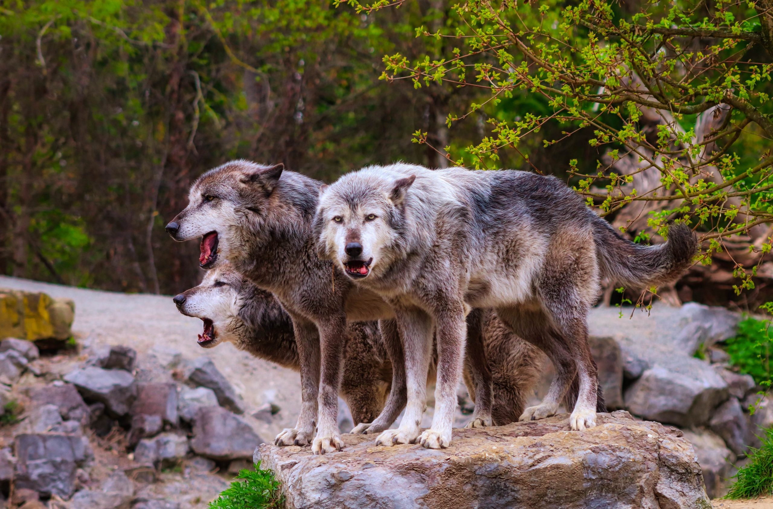 Three gray wolves standing atop a rock surrounded by vegetation